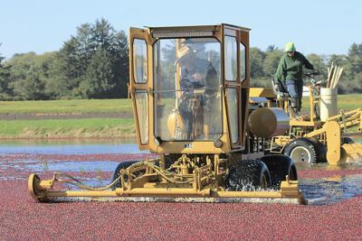 Cranberry surplus still high with harvest underway