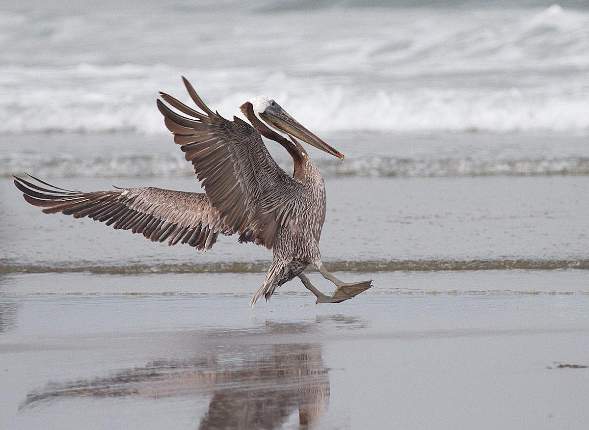 Birdwatching  Where have the brown pelicans gone?