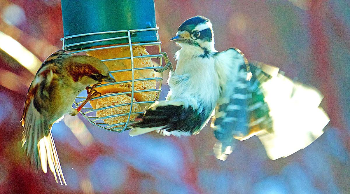 Sparrow vs woodpecker 1