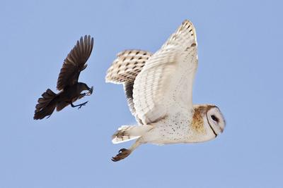 Birdwatching  The barn owl: Cool and interesting facts