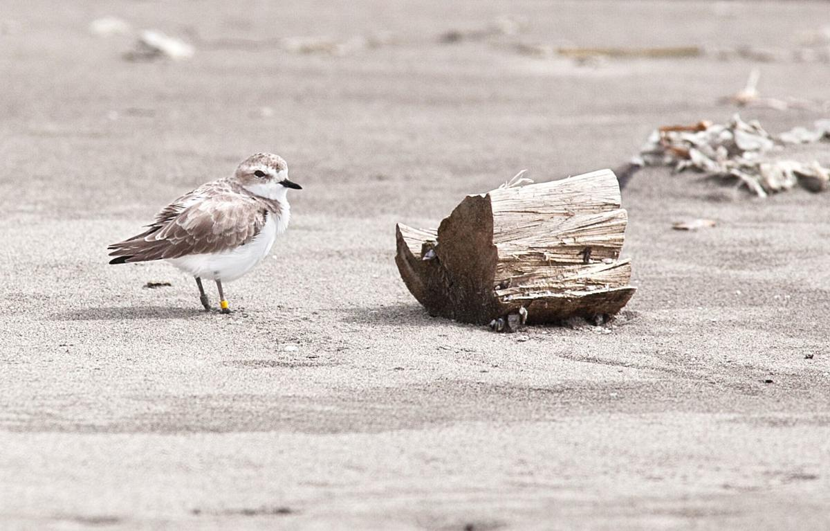 Plovers prevailing