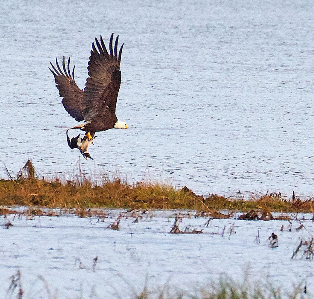 Eagle takes pintail