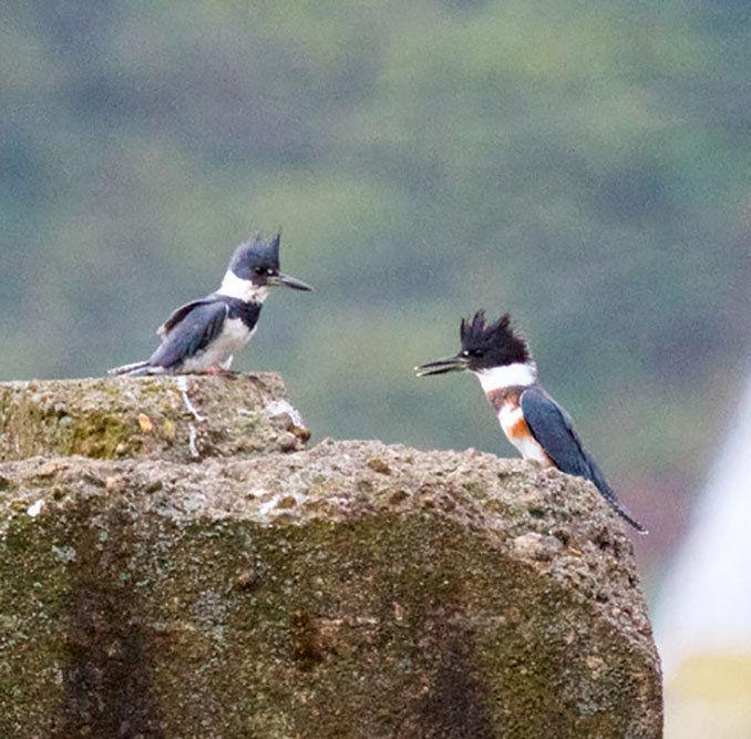 Birdwatching  Kingfishers demand: Stop! Look! And listen!