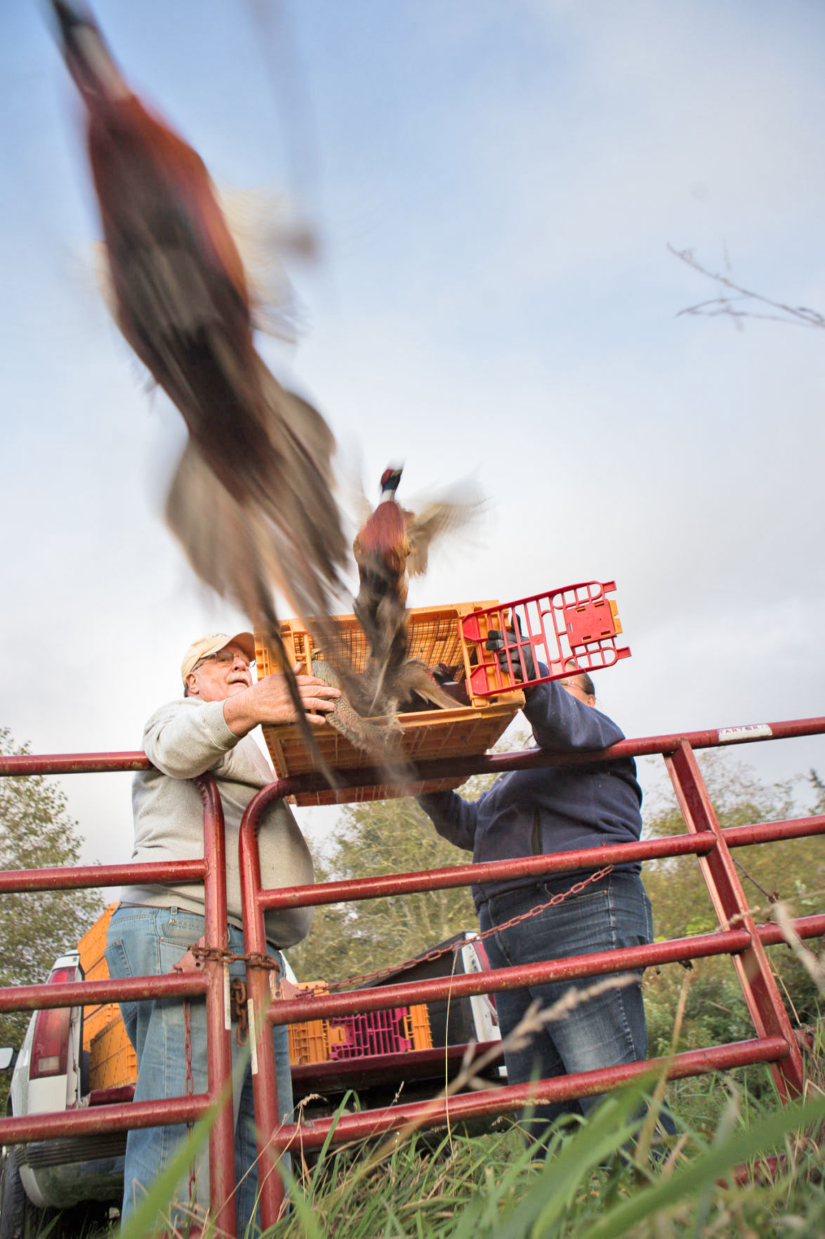 Steve and Tina Padel release pheasants in Chinook as part of the WDFW Western Washington Pheasant Release Program