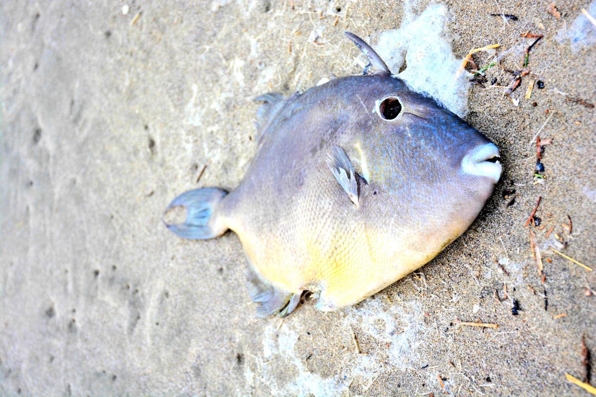 Finescale Triggerfish (1 of 9).JPG
