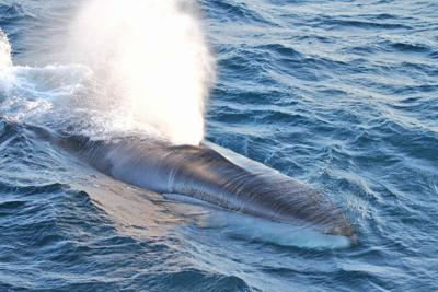 North Pacific fin whale
