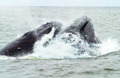 Image result for Hayslip Humpback whale""