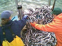 NOAA listing smelt as threatened