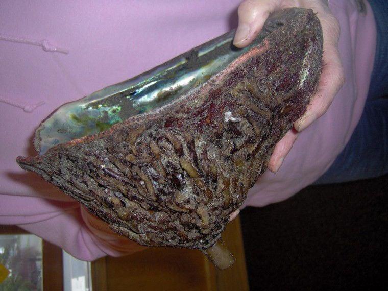 Klipsan woman finds rare abalone shell on local beach