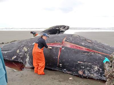 Whale necropsy