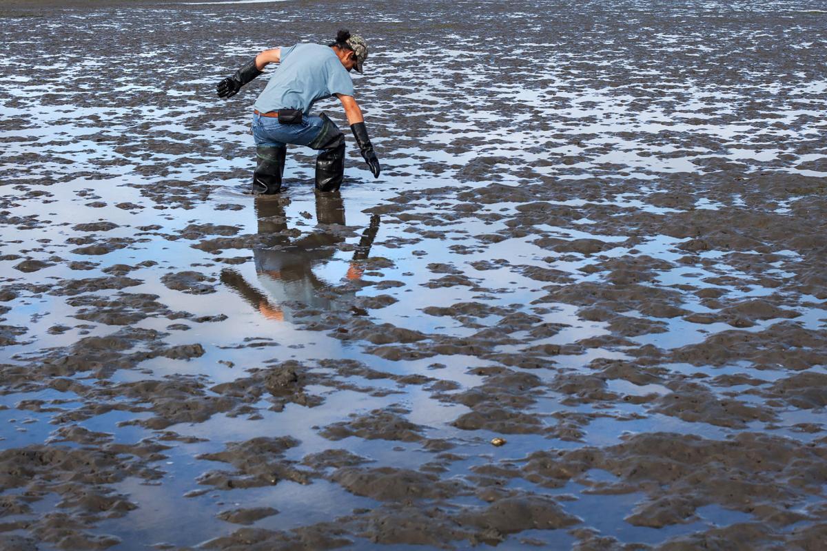 Willapa Desert: Key oyster bed abandoned as inedible shrimp