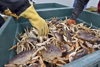 Crab will soon be available for processing