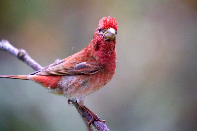 Look Alikes: Tips for identifying two of our backyard finches