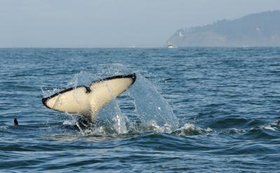 Orcas hunt in outer coast waters