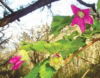 Park Happenings: Salmonberry blossoms