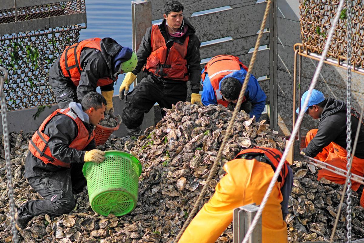 Willapa oyster growers  bracing for overseas virus