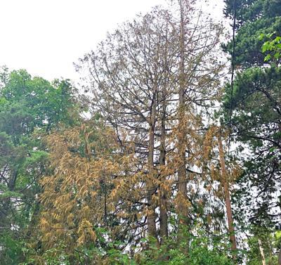 Dead cedars
