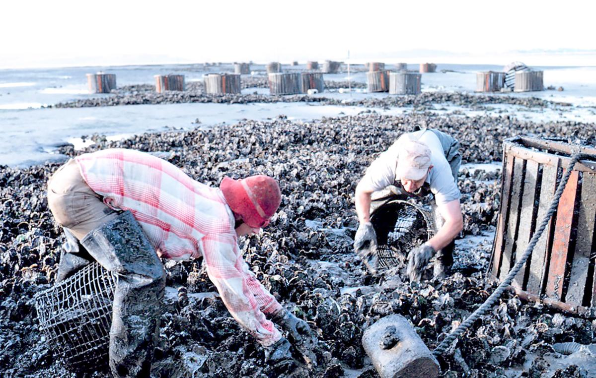 Willapa oyster pickers 1969