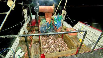 Widow rockfish haul