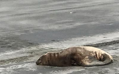 California sea lions sick with leptospirosis