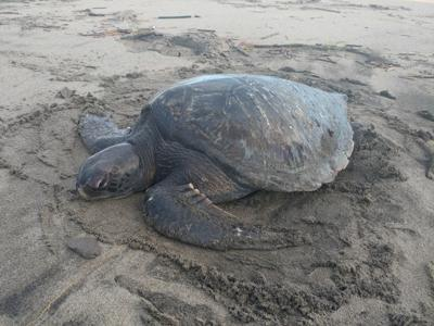 Young green sea turtle found near Fort Stevens dies