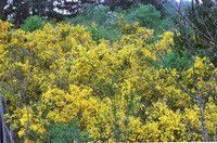 Ask a Master Gardener: No room for Scotch broom!