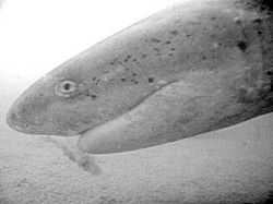 Shrimp study finds unexpected crowd in Willapa:sharks