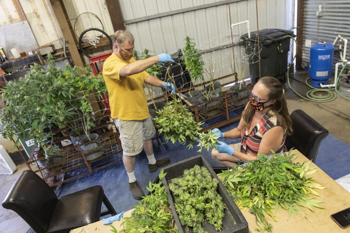Junge and Harrington harvest marijuana