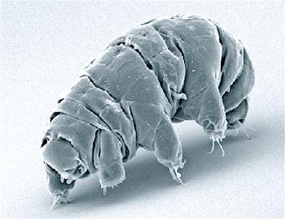 Milnesium tardigradum