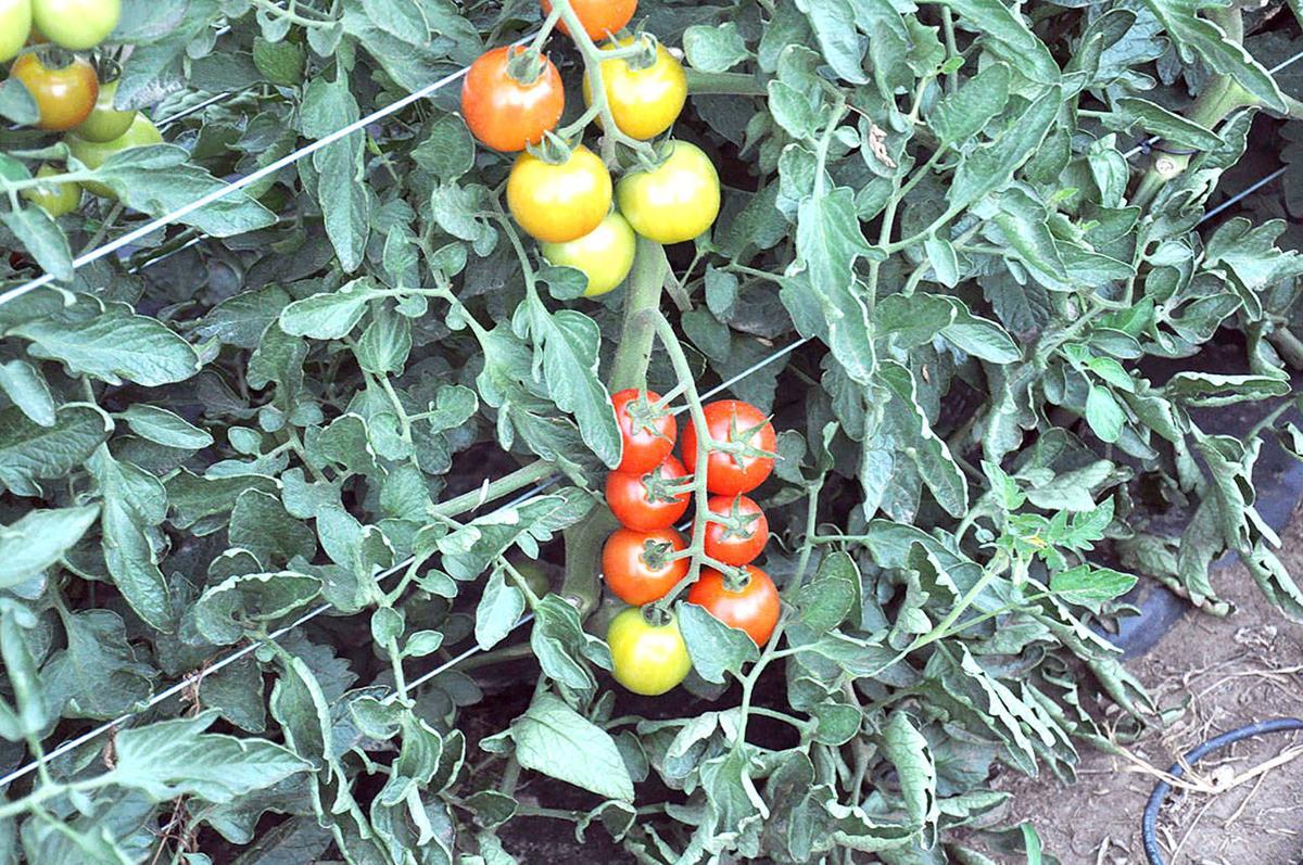 Adoration tomatoes