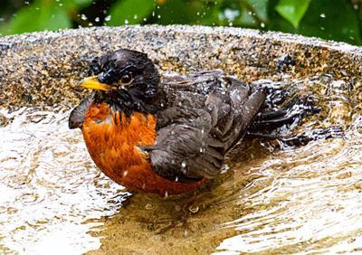 Birdwatching  More fall bathing beauties to admire