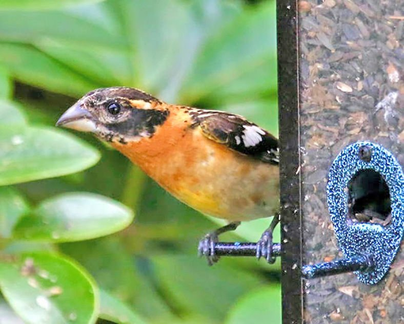 The black-headed grosbeak's large conical bill