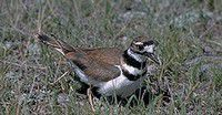 Nature Notes: The plover show
