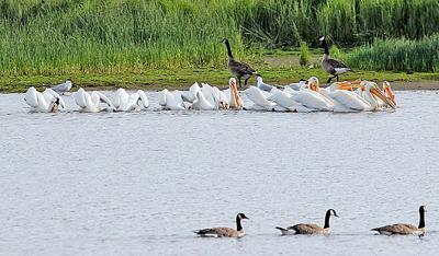 White pelican 'pod' visits Ilwaco harbor