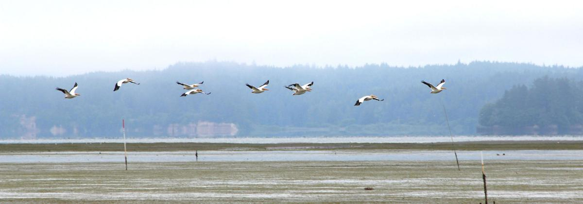 WHITE PELICANS ON WILLAPA BAY
