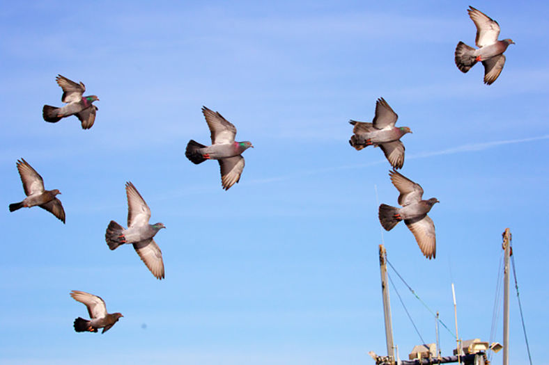 181128_CO_news_Kalbach Rock Pigeon.jpeg