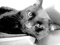 South Pacific County Humane Society Pet ReportIt's a fact: Black cats need loving homes, too!