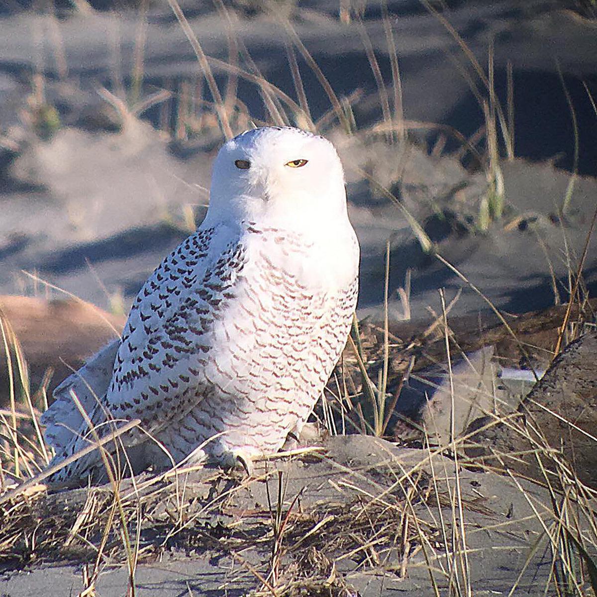 Birdwatching:  Snowy owls are back on Peninsula
