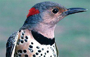 Nature Notes: Flicker flight
