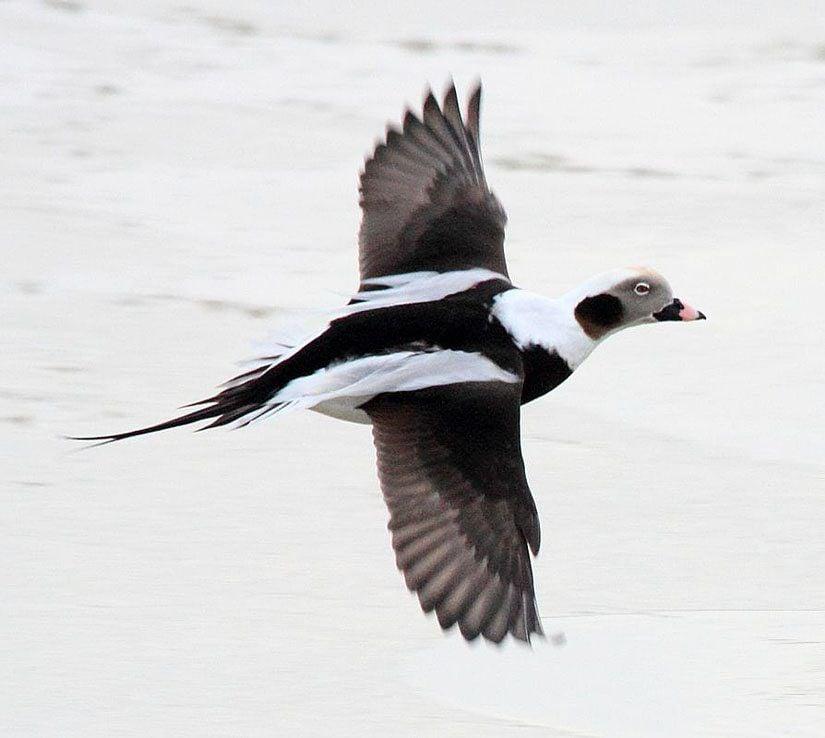 Northwest Nature Log  Appreciating our winter ducks