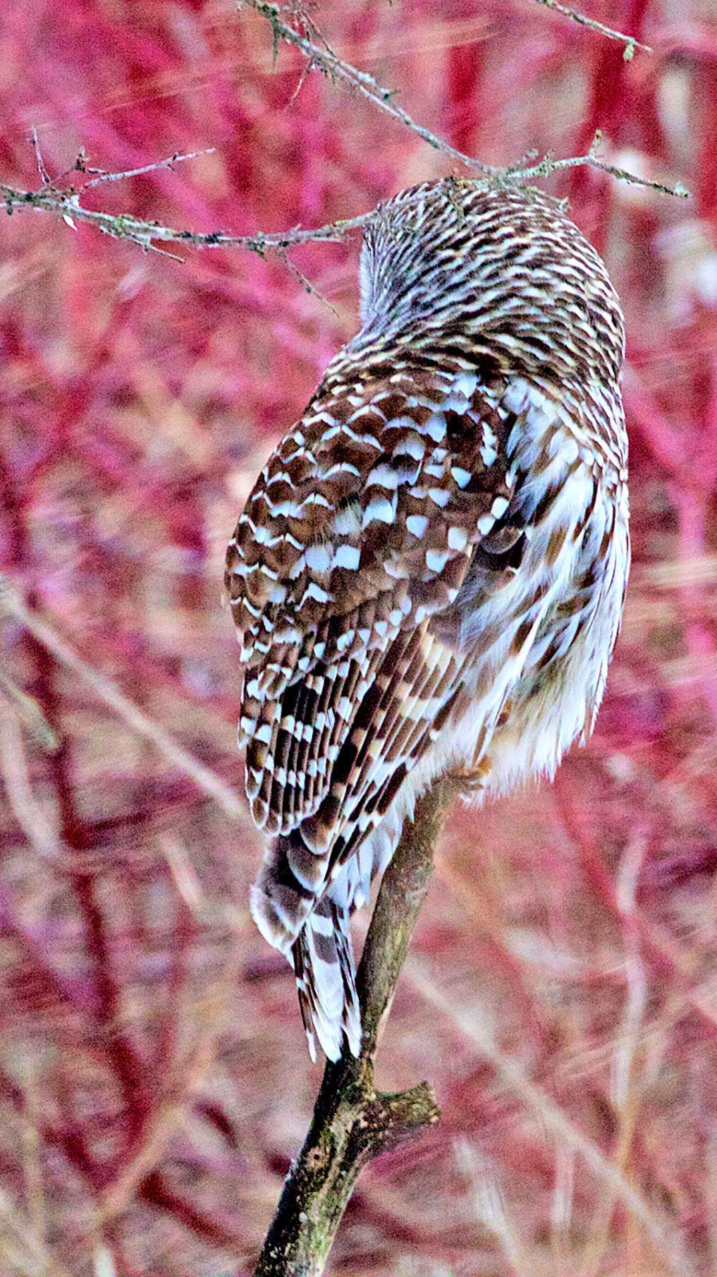 Barred owl back
