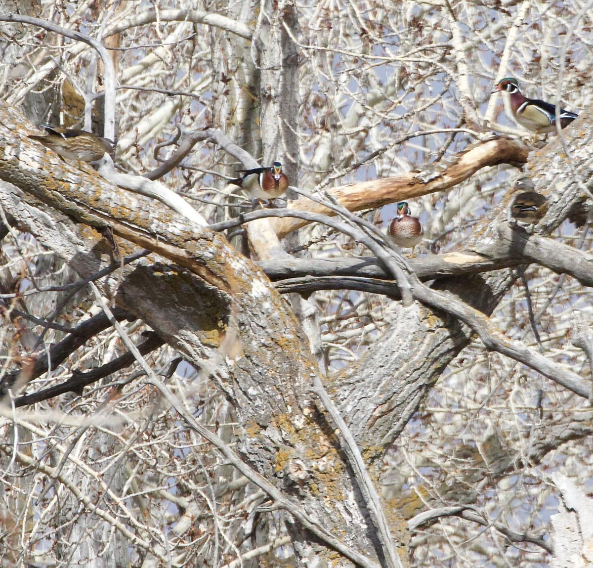 Wood ducks in a tree