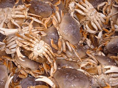 Pacific County crab slow to put on meat this year