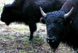 Betting on prairie beasts