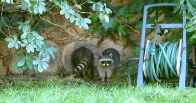 Raccoon gates facilitate furry friends