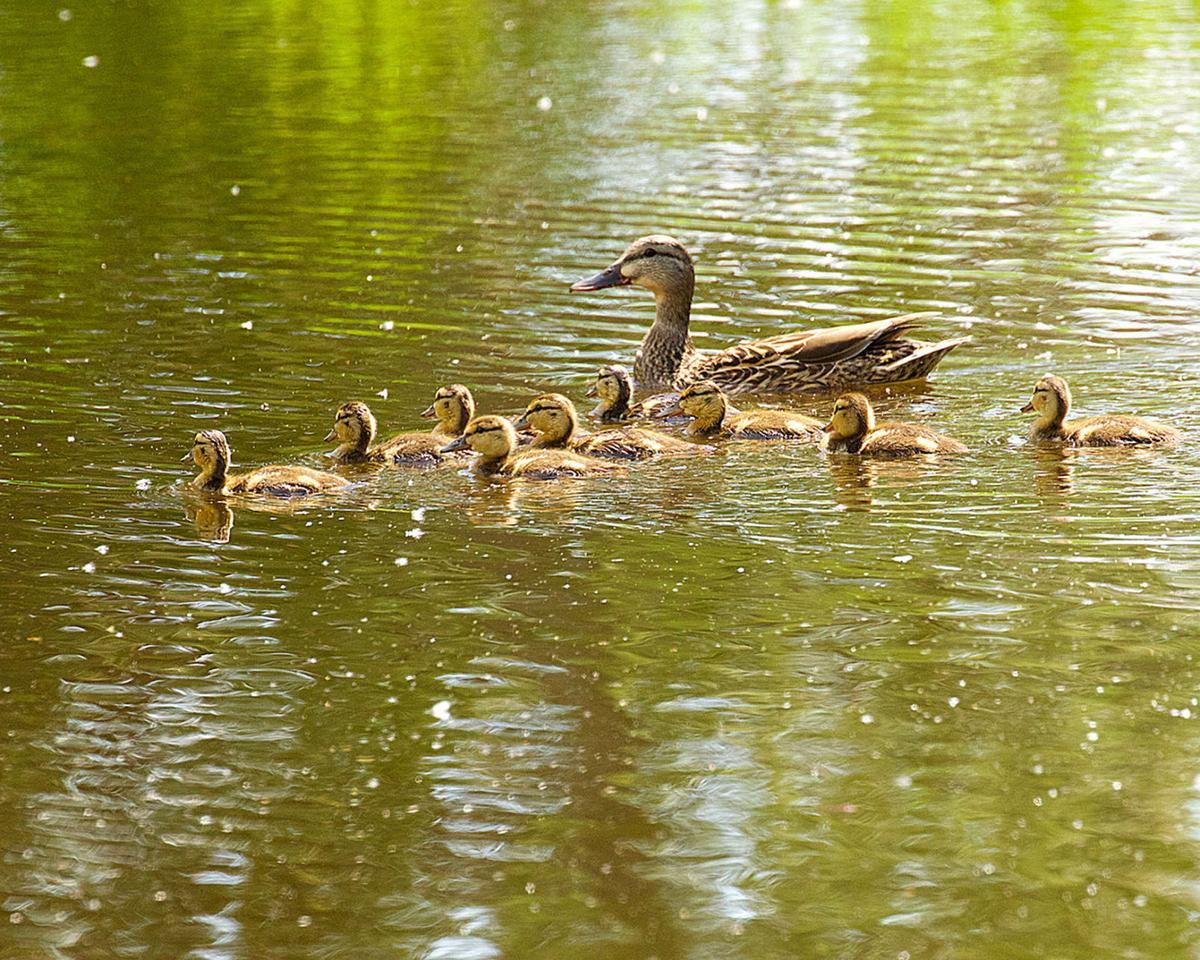Birdwatching The mallard: duck extraordinaire