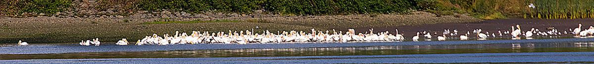 White pelicans on Youngs Bay