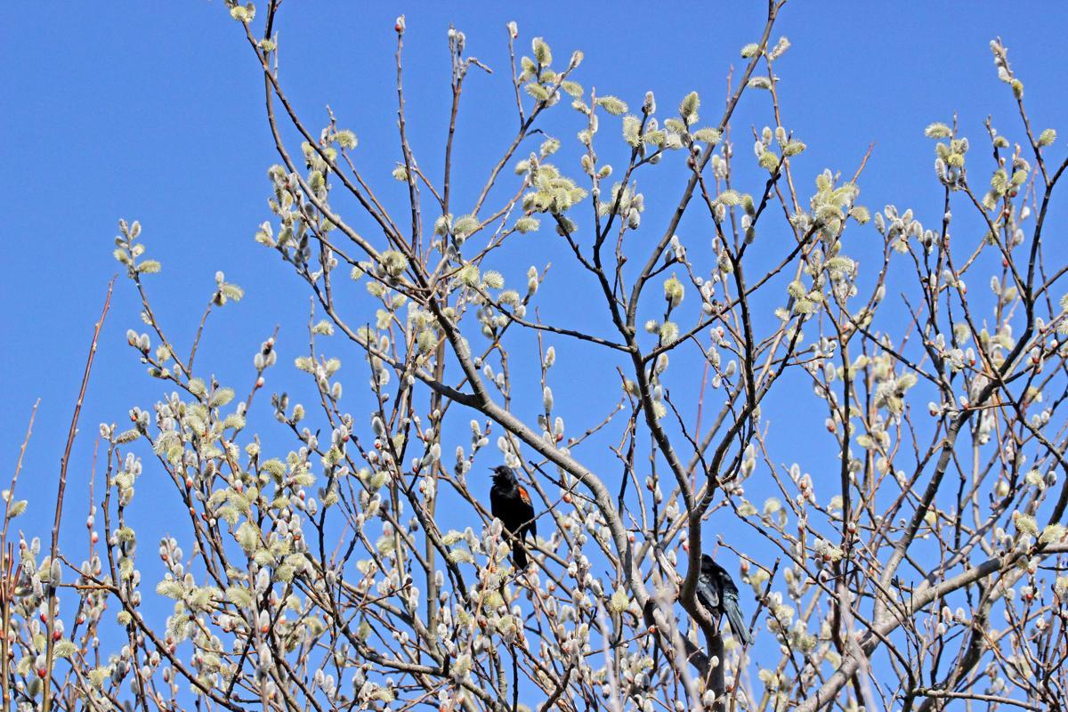 Red-winged blackbirds among the budding bushes