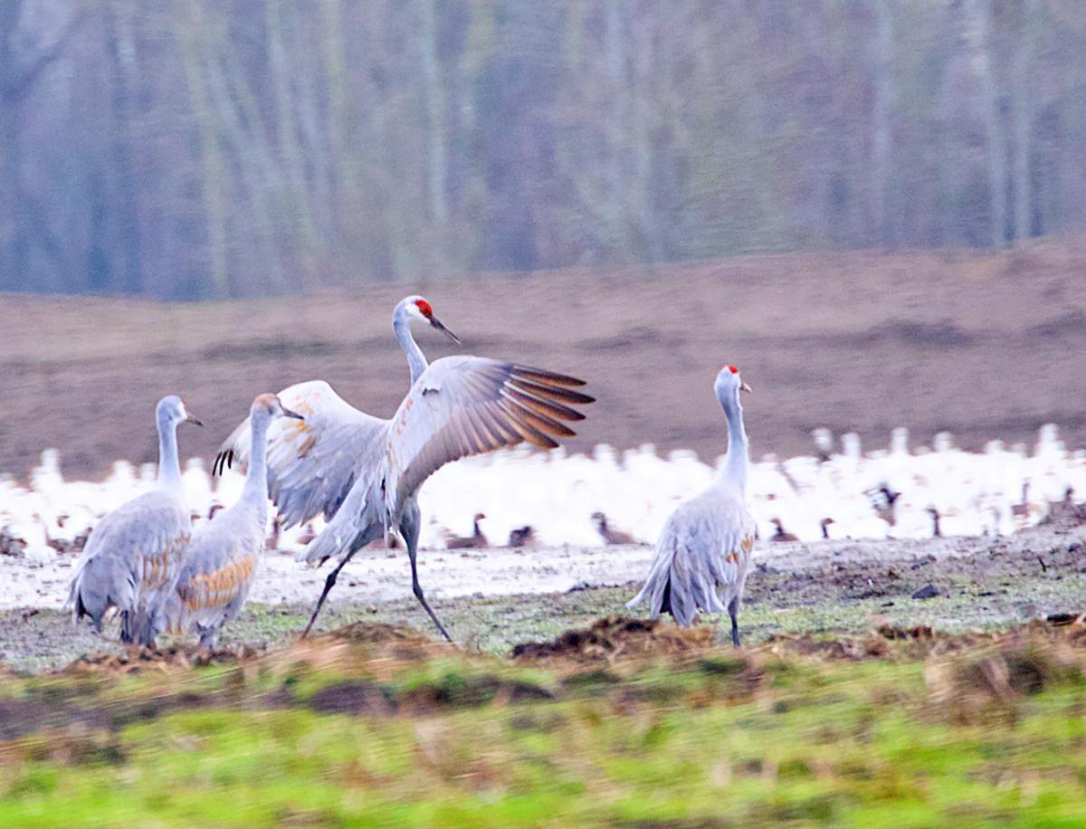A dancing Sandhill crane