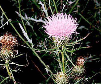 Ask a Master Gardener: Summer solstice ideal time to control tough perennial weeds